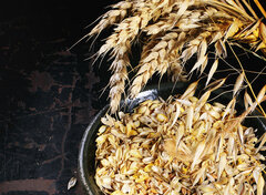 Ripe wheat and oat ears and seeds