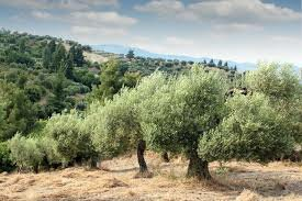 A Lesson from the Olive Tree