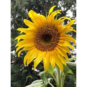 Sunflower Raindrops