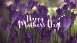 Purple Crocus happy mother day 16x9 PowerPoint Photoshop image