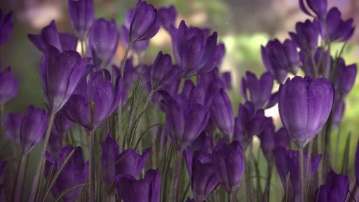 Purple Crocus - Content - Motion