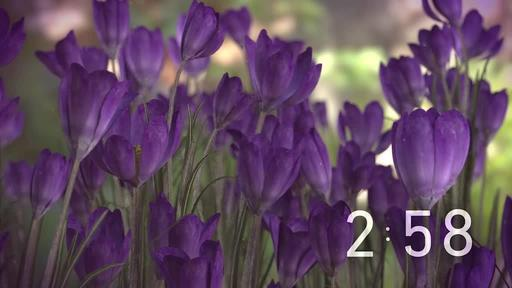Purple Crocus - Countdown 3 min