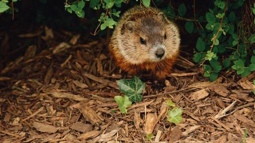 Massachusetts authorities discover flag thief is a woodchuck