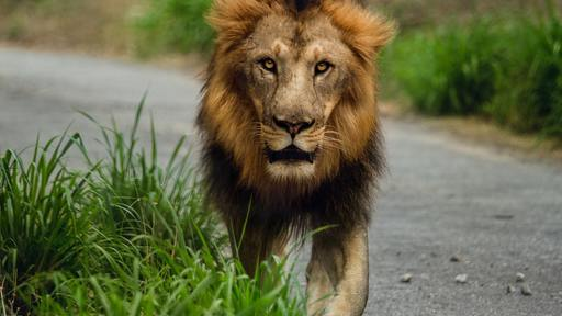 Man learns you can't safely pet a Lion