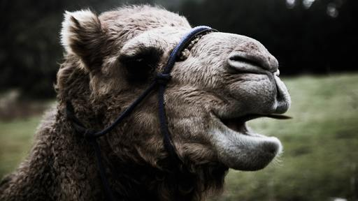 Zoo camel lucky in predicting Super Bowl wins