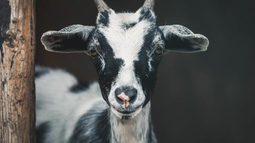 Goat a suspect of car theft?