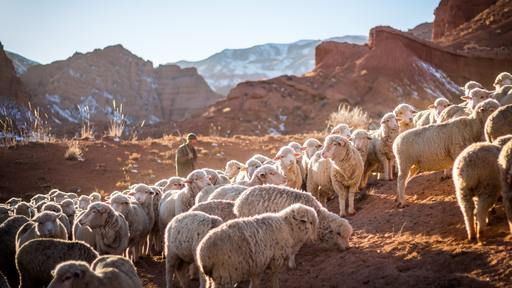 Surprising subject of reality show: sheep