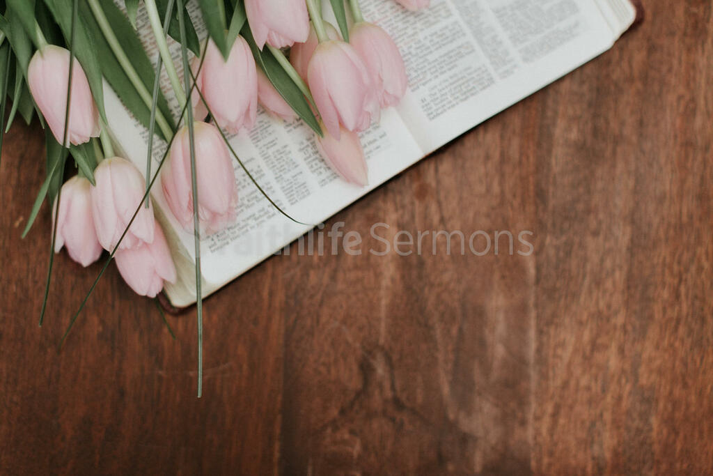 Flowers on Bible light pink tulips open 16x9 75826692 9fa6 4489 bd72 b792fa586b6f preview