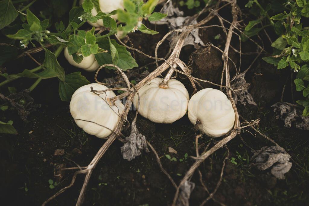 Fall 2018 white pumpkins 16x9 4f76499b 44ba 4a2a a006 f44d6be86905 preview