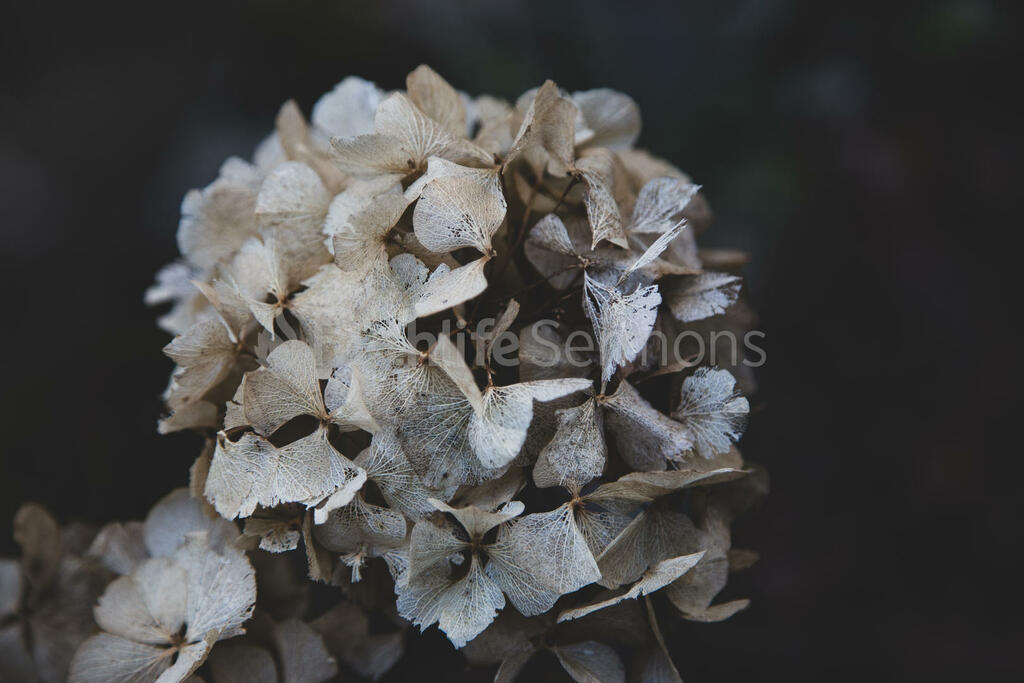 Good Friday hydrangea 16x9 09115ca6 abc6 4a30 a200 f370635f4efe preview