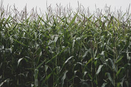 Fall 2018 corn field 16x9 7b0845f0 2250 4ccc 8af2 c92ebcade11a image