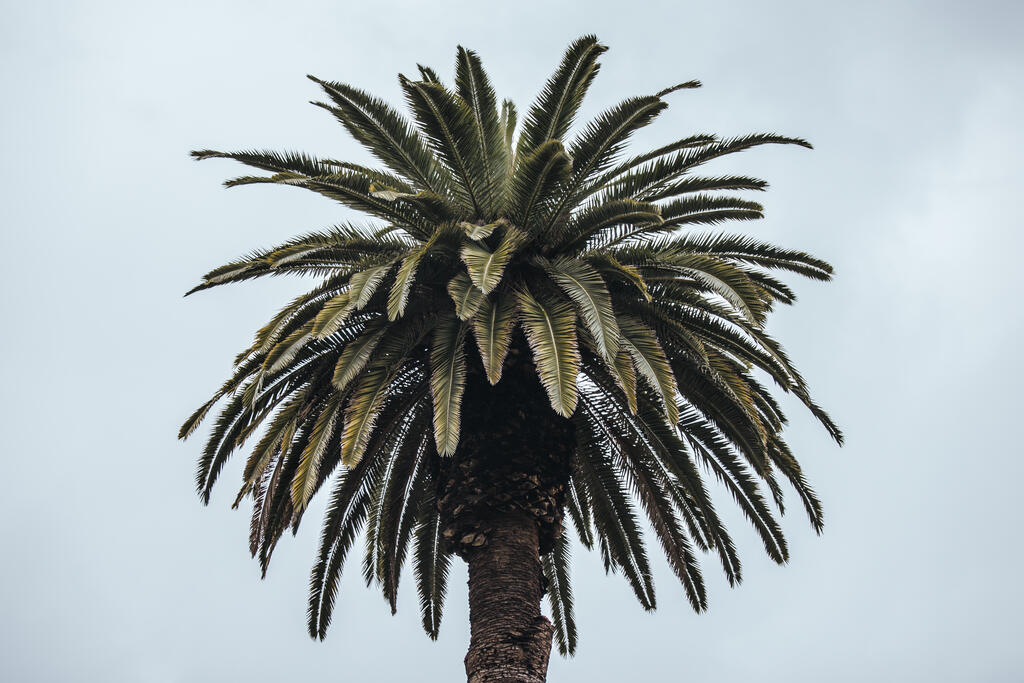 Palm Tree large preview