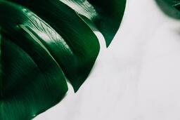 Monstera Leaf  image 1