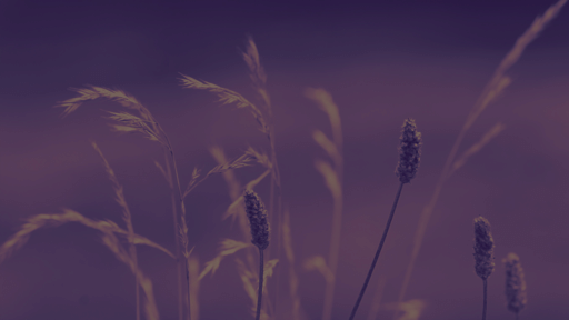 Purple Wildgrass