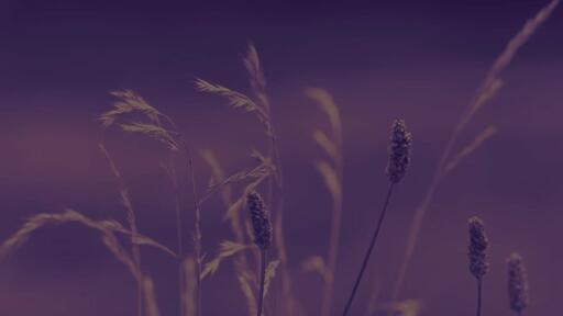Purple Wildgrass - Content - Motion