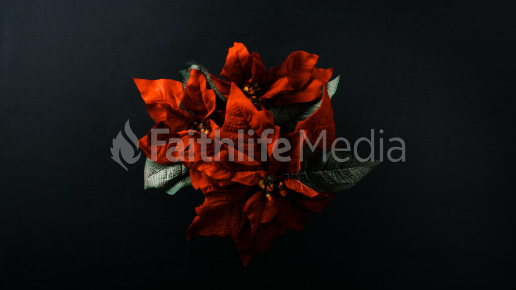 Poinsettia large preview