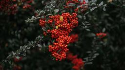 Berries  image 2