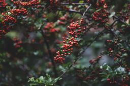 Berries  image 4