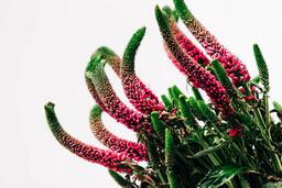 Magenta Veronica Flowers  image 6