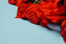 Red Poinsettia Wreath  image 8