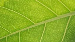 Green Leaf  image 3