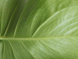 Green Leaf  image 1