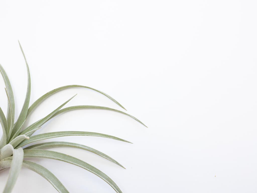 Air Plant large preview