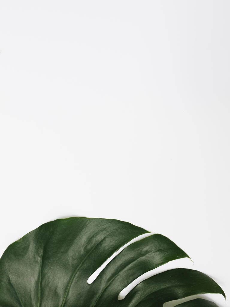 Monstera Leaf on White Background large preview